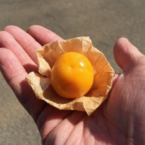 オレンジ色に輝く、ほおずきの実